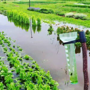Das Überschwemmte Salatfeld